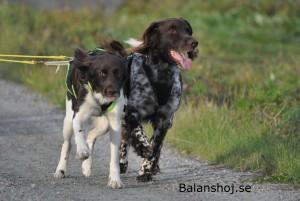 ...och hundarna älskar träningen...